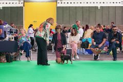 Belgian Griffon shows her tricks to the jury during the world d. Amsterdam, The Netherlands, August 10, 2018: Belgian Griffon shows her tricks to the jury during royalty free stock image