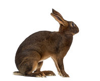 Belgian Hare in front of a white background Royalty Free Stock Photo
