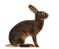 Belgian Hare in front of a white background Royalty Free Stock Photography
