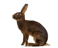 Belgian Hare in front of a white background. Belgian Hare sitting in front of a white background Stock Photo