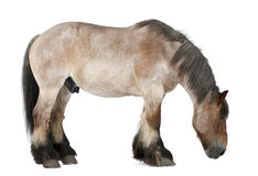 Belgian horse, Belgian Heavy Horse, Brabancon Royalty Free Stock Photography