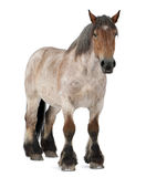 Belgian horse, Belgian Heavy Horse, Brabancon Stock Photo
