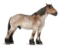 Belgian horse, Brabançon, 16 years old, standing in front of. White background stock images