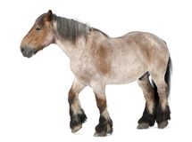 Belgian horse, Brabançon, 16 years old, walking in front of. White background royalty free stock photo