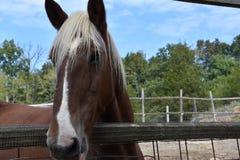 Belgian Horse Stock Photos