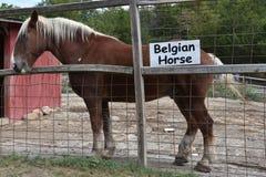 Belgian Horse Royalty Free Stock Photos