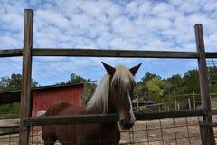 Belgian Horse Stock Images