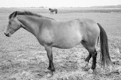 Belgian horse Royalty Free Stock Photo
