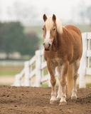 Belgian horse Royalty Free Stock Photography