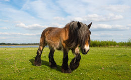 Belgian horse walking on the grass Royalty Free Stock Image
