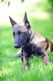 Belgian malinois Royalty Free Stock Image