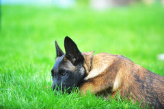 Belgian malinois Stock Photo