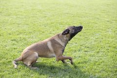 Belgian Malinois. It is a Belgian Malinois, Malinu a dog, only a short haired Belgian Shepherd four types, is the famous ancient varieties. Because of its good Royalty Free Stock Photo