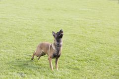 Belgian Malinois. It is a Belgian Malinois, Malinu a dog, only a short haired Belgian Shepherd four types, is the famous ancient varieties. Because of its good Royalty Free Stock Photos