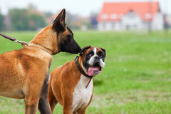 Belgian Malinois an Boxer Dog in love Royalty Free Stock Photo