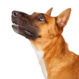 Belgian Malinois Crossbreed Dog Portrait Profile. Closeup profile photo of a pretty Belgian Shepherd and Cattle Dog crossbreed looking up Stock Images