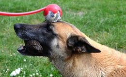 Belgian Malinois dog being teased: Heijen, Holland - 06/23/2018 stock photos