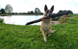 Belgian Malinois dog. With branch in mouth Stock Images