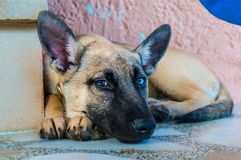 Belgian malinois dog. Close up of a cute Belgian malinois dog while is resting Royalty Free Stock Images