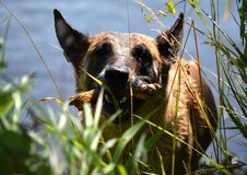 Belgian Malinois dog in closeup: Well, Holland - 06/30/2018 stock photo