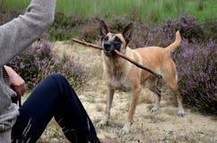 Belgian Malinois dog focused on playing tool Royalty Free Stock Image
