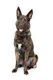 Belgian Malinois dog Royalty Free Stock Photography