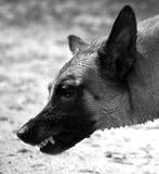 Belgian Malinois dog growling Royalty Free Stock Image