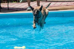 Belgian Malinois dog jumping in pool for a toy. Dog jumping into a swimming pool after a toy.  Pool water is clear blue Royalty Free Stock Images