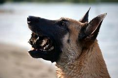 Belgian Malinois. Dog looking up en profile Royalty Free Stock Photos