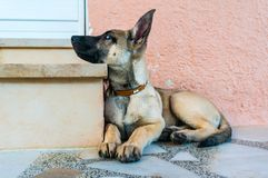 Belgian malinois dog. Profile of a cute belgian malinois dog posing to the photographer Stock Photo