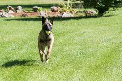 Belgian Malinois dog running with a ball. Young Belgian Malinois dog running in the grass with a green ball in it`s mout Stock Images