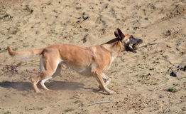 Belgian Malinois dog in the sand Stock Image