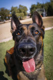 Belgian Malinois extreme fisheye close up Stock Image
