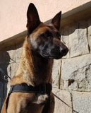 Zara the belgian malinois royalty free stock photo