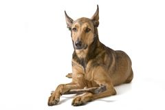 Belgian Malinois with hammer Royalty Free Stock Images