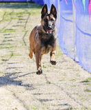 Belgian Malinois happy on the lure course. Belgian Malinois chasing a lure at the park Stock Photos