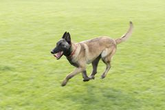 Belgian Malinois. The horse dog is one of the four short hairs of Belgium Belgian dog and Belgian shepherd dog. It is a famous ancient variety. It has been Stock Images
