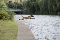 Belgian Malinois Royalty Free Stock Photography