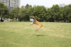 Belgian Malinois royalty free stock images