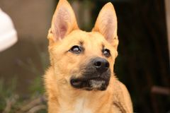 Belgian Malinois husky dog looking up stock photo