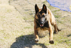 Belgian Malinois on the lure course. Belgian Malinois chasing a lure at the park Royalty Free Stock Photography