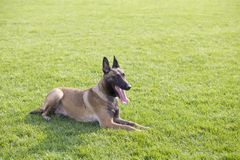 Belgian Malinois. Malinois shape symmetry, smooth, square, its head and neck posture is very elegant; it is agile, muscular, sensitive and energetic; limbs when Stock Photo
