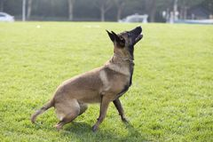 Belgian Malinois. Malinois shape symmetry, smooth, square, its head and neck posture is very elegant; it is agile, muscular, sensitive and energetic; limbs when Royalty Free Stock Photography