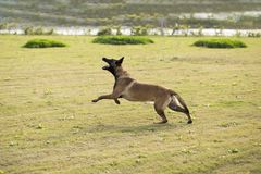 Belgium Malinu a dog. It is a Belgian Malinois, Malinu a dog, only a short haired Belgian Shepherd 4 types, is the famous ancient varieties. Because of its good Royalty Free Stock Image