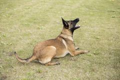 Belgium Malinu a dog. It is a Belgian Malinois, Malinu a dog, only a short haired Belgian Shepherd 4 types, is the famous ancient varieties. Because of its good Stock Photos