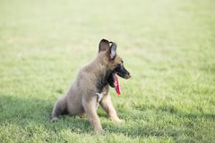 Malinois. It is a Belgian Malinois, Malinu a dog, only a short haired Belgian Shepherd four types, is the famous ancient varieties. Because of its good Royalty Free Stock Images
