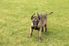Belgium Malinu a dog Royalty Free Stock Photography