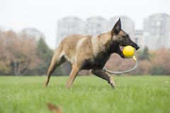 Belgian Malinois. It is a Belgian Malinois, Malinu a dog, only a short haired Belgian Shepherd four types, is the famous ancient varieties. Because of its good Stock Photo