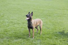 Belgian Malinois. It is a Belgian Malinois, Malinu a dog, only a short haired Belgian Shepherd four types, is the famous ancient varieties. Because of its good Royalty Free Stock Images