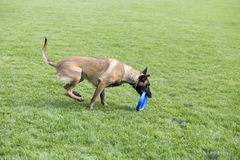 Belgian Malinois. It is a Belgian Malinois, Malinu a dog, only a short haired Belgian Shepherd four types, is the famous ancient varieties. Because of its good Stock Photos